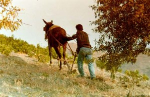 Our neighbour Curro plowing our land with his mule...