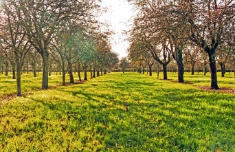 Burrow Hill Older Orchard