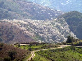 06 Finca Almond Blossom Display